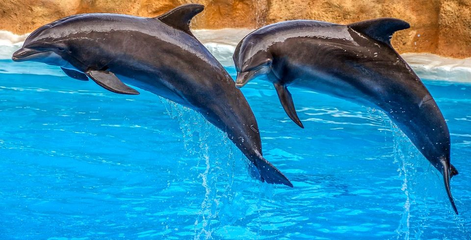 dolphins-3769402_960_720